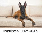 cute belgian shepherd malinois...   Shutterstock . vector #1125088127