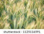 wheat growing in field   close... | Shutterstock . vector #1125116591
