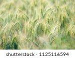 wheat growing in field   close... | Shutterstock . vector #1125116594