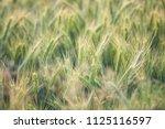 wheat growing in field   close... | Shutterstock . vector #1125116597
