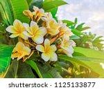 frangipani flower or plumeria...   Shutterstock . vector #1125133877