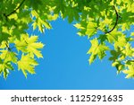 bright leaves of  maple tree... | Shutterstock . vector #1125291635