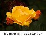 Yellow Rose And Rosebuds