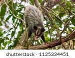 big eared opossum photographed... | Shutterstock . vector #1125334451