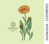 calendula  calendula plant ... | Shutterstock .eps vector #1125380321