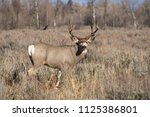 A Wild Mule Deer Watches Ready...
