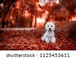 cute west highland white... | Shutterstock . vector #1125453611