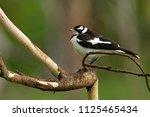 magpie lark   grallina... | Shutterstock . vector #1125465434