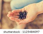 heap of sunflower seeds on a... | Shutterstock . vector #1125484097