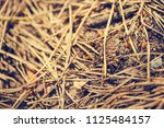 small ant creeping on conifer... | Shutterstock . vector #1125484157