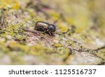 trypodendron domesticum  an... | Shutterstock . vector #1125516737