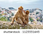 Small photo of Gibraltar Apes - Barbary Macaque family in Gibraltar Nature Reserve