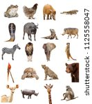 set of twenty different zoo... | Shutterstock . vector #1125558047