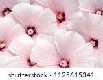 althaea rosea flower background | Shutterstock . vector #1125615341