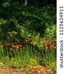 devil's paint brush or orange... | Shutterstock . vector #1125624911