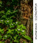 bunchberry flowers beside a... | Shutterstock . vector #1125624914