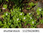 bunchberry flowers in a forest | Shutterstock . vector #1125626081