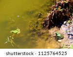 two frogs swimming in a small... | Shutterstock . vector #1125764525