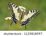 Old World Swallowtail Butterfl...