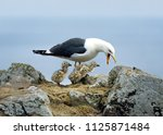 lesser black backed gull and... | Shutterstock . vector #1125871484