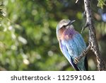 Small photo of Lilac breasted roller Coracius cordata