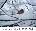 Mourning Dove Hiding Behind Ne...