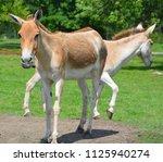 the onager  equus hemionus  ... | Shutterstock . vector #1125940274