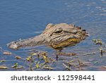An Alligator Lurking For A Mea...