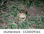 cane toad  rhinella marina in... | Shutterstock . vector #1126029161