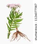 valerian with root | Shutterstock . vector #1126077587