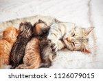 Stock photo grey mother cat nursing her babies kittens close up 1126079015