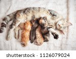 Stock photo grey mother cat nursing her babies kittens close up 1126079024