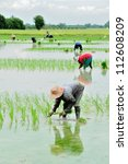 farmers are planting rice in... | Shutterstock . vector #112608209