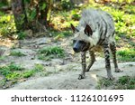 hyena is shaped like a dog. the ... | Shutterstock . vector #1126101695