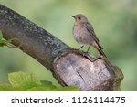 black redstart or tithy's... | Shutterstock . vector #1126114475