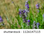 bee collecting nectar of... | Shutterstock . vector #1126147115