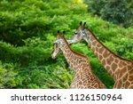 Close Up Of A Giraffes