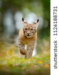 young lynx in green forest....   Shutterstock . vector #1126188731
