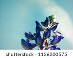 blue flower lupine macro  close ... | Shutterstock . vector #1126200575