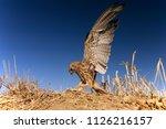lesser kestrel  female  hunting ...   Shutterstock . vector #1126216157