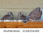 lesser kestrel  breeding  falco ...   Shutterstock . vector #1126216181