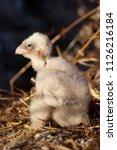 lesser kestrel  breeding  falco ...   Shutterstock . vector #1126216184