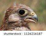 lesser kestrel  breeding  falco ...   Shutterstock . vector #1126216187