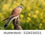 lesser kestrel  male  eating a...   Shutterstock . vector #1126216211