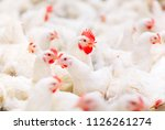 indoors chicken farm  chicken... | Shutterstock . vector #1126261274