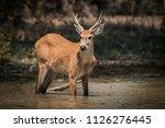 marsh deer  blastocerus...   Shutterstock . vector #1126276445
