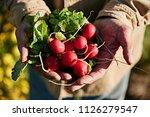 farmer holding fresh picked... | Shutterstock . vector #1126279547