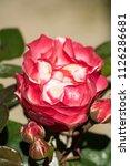 flowering noble nostalgia | Shutterstock . vector #1126286681