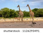 giraffe camelopardalis on... | Shutterstock . vector #1126293491