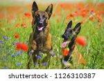 two happy belgian shepherd... | Shutterstock . vector #1126310387